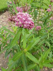 P1000398_Asclepias_incarnata_(Asclepiadaceae)_Leaf