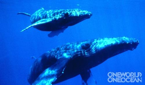 OWOO_Whales_(Liv_Sea)_w
